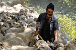 Shepard  amid his flock