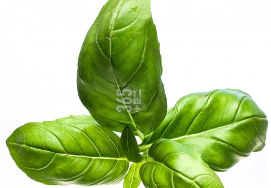 Basil | Ocimum basilicum [73 Ob]