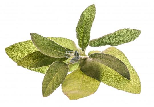 Sage | Salvia officinalis [60 So]